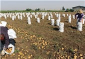 نظارت تعاون روستایی بر فعالیت دلالان کشاورزی افزایش یابد