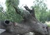 فیلم/کهنسالترین درخت به خاطرهها پیوست!
