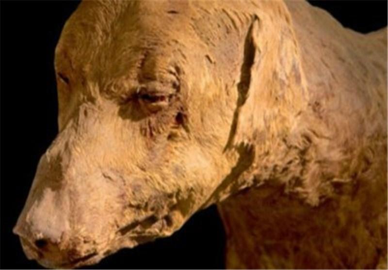 العثور على مومیاوات لـ 8 ملایین کلب محنطة فی مصر
