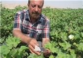 بیش از 2 میلیون زنبور براکون در مزارع شهرستان فسا رهاسازی میشود
