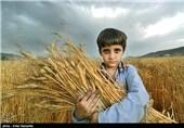 سالانه 22 هزار تن بذر گندم و جو در استان ایلام تولید میشود