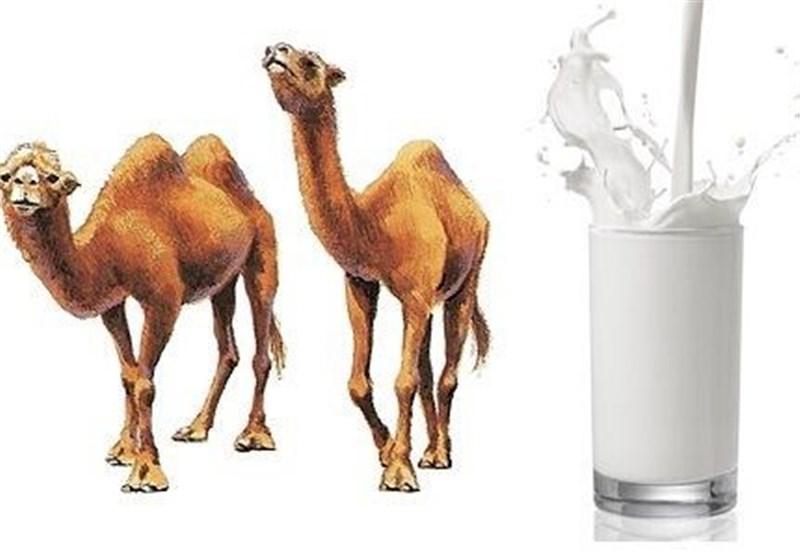 آشنایی با خواص شیر شتر