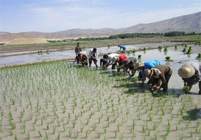 عملیات کاشت برنج در مزارع پارسآباد آغاز شد/برداشت 3600 تن شلتوک