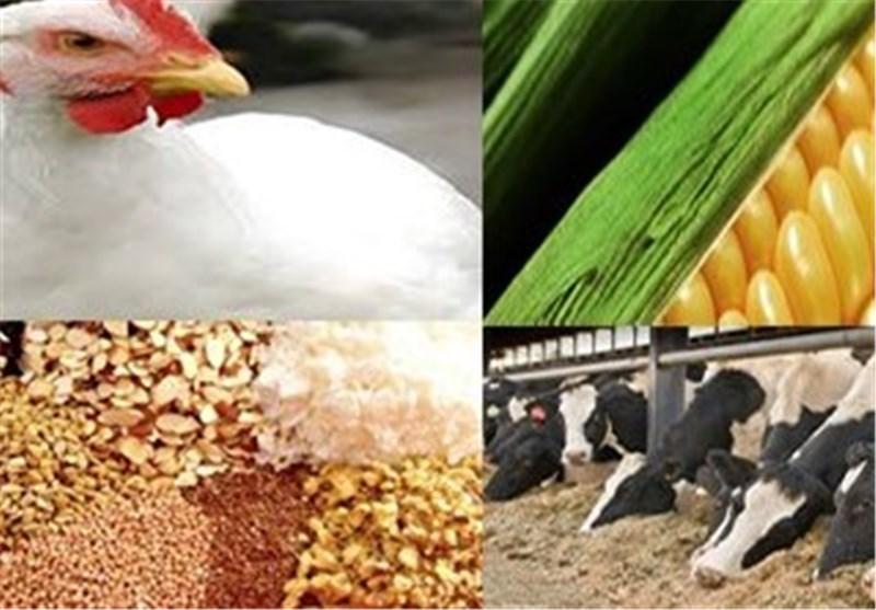 ذرت و سویا گران نشده/توزیع ذرت ارزان بین مرغداران