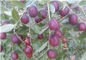 96 درصد عناب کشور در خراسان جنوبی تولید میشود