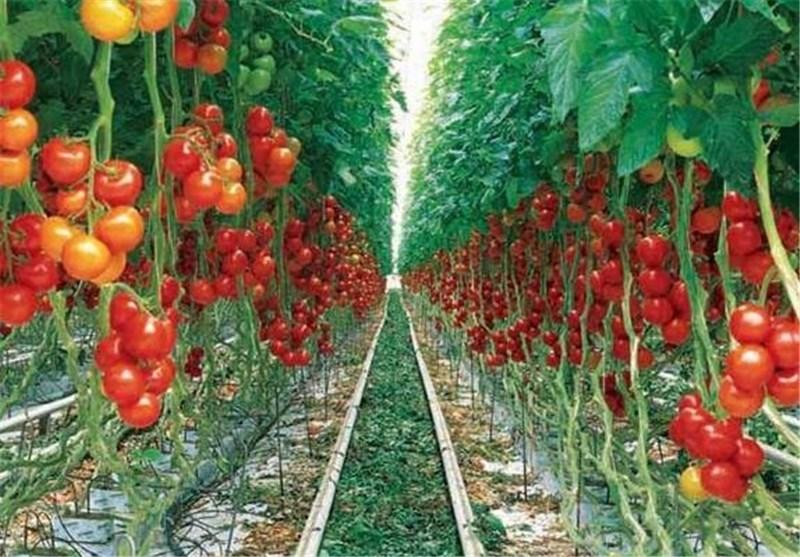 3 مجتمع گلخانهای در استان کرمانشاه ساخته میشود