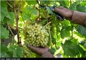 آغاز برداشت انگور از باغات ارومیه
