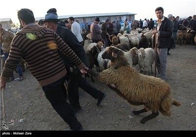 فروش دام برای عید قربان - اردبیل