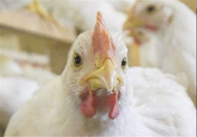 صدور مجوز جدید تأسیس واحد مرغ گوشتی در گیلان ممنوع شد
