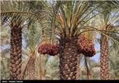 برداست خرما - بوشهر