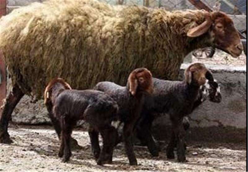 نسل دوم گوسفند نژاد افشار در زنجان تولید میشود