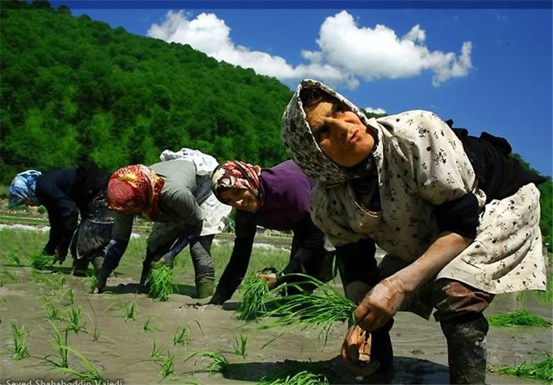 برنجکار