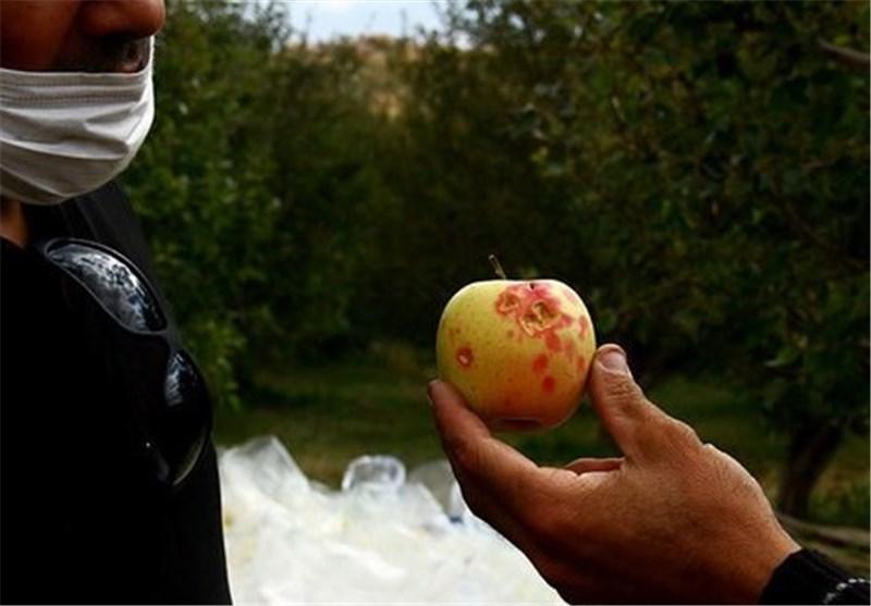 عکس/خسارت تگرگ به باغهای سیب میانه