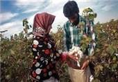 بیش از 8 هزار تن وش پنبه در استان گلستان خریداری شد