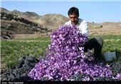 برداشت زعفران از مزارع بانه آغاز شد
