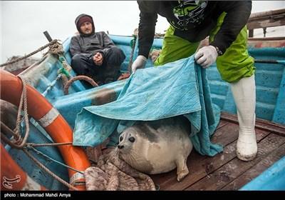 با همکاری بخش ماهیان خاویاری استان گلستان صیادان منطقه فوک های صید شده را تحویل مرکز درمانی و تحقیقاتی فوک خزری داده و پس از نمونه برداری آزاد میشوند
