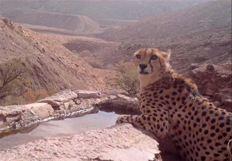 یوزپلنگ ایرانی در سینما حقیقت