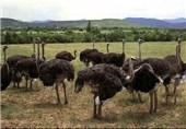 6 واحد پرورش شترمرغ در لرستان فعالیت میکنند