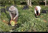 برداشت گوجه فرنگی پاییزی - ارومیه
