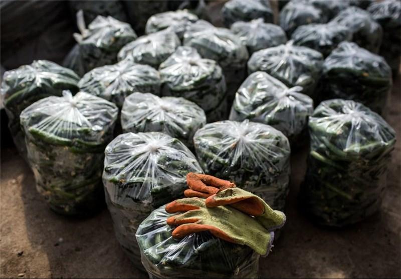 درآمد 12 میلیون تومانی با کاشت خیار بدست بیاورید