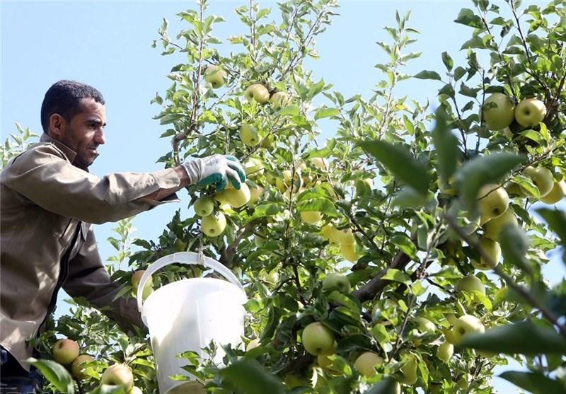 صادرکنندگان سیب ارومیه مشوق یارانه صادراتی دریافت میکنند
