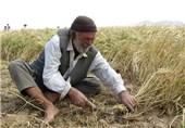 45 هزار تن سویا در استان اردبیل تولید میشود