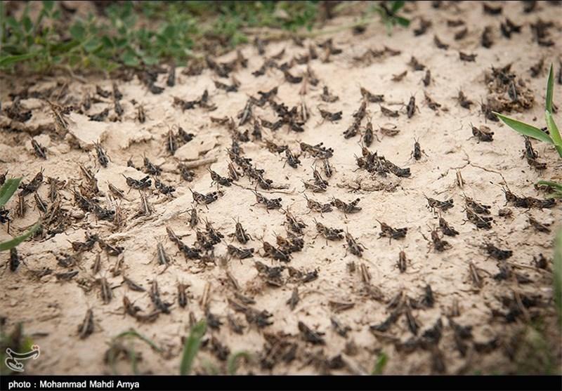 هجوم ملخهای صحرایی به اراضی کشاورزی فارس؛ اعزام بالگرد به لارستان برای سمپاشی هوایی