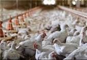 مانع صنعت مرغ اعلام شد؛ «دولت»