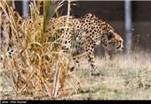 مشاهده یوزپلنگ آسیایی و یوز ایرانی در پارک ملی توران شاهرود