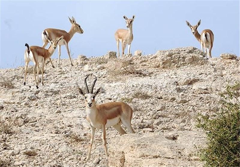 1200 راس آهو در مناطق حفاظت شده استان بوشهر سرشماری شد