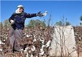 آغاز برداشت پنبه در اراضی زراعی مازندران