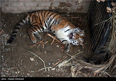 Siberian Tiger Enters Tehran Zoo