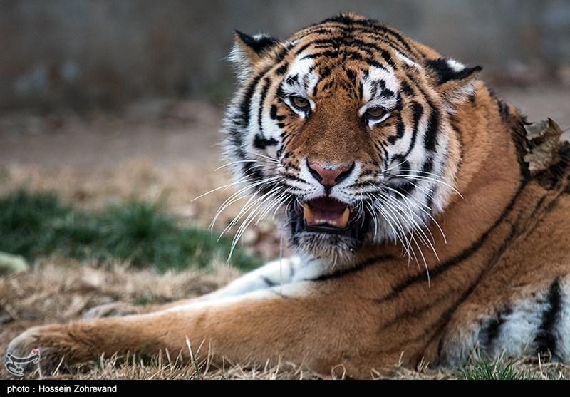 Siberian Tiger Enters Tehran Zoo