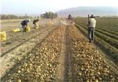 آغاز کشت محصول سیبزمینی در اردبیل/وقتی بذر سیبزمینی تا سقف 2000 تومان به فروش میرسد