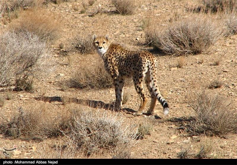 یوزپلنگ آسیایی/یوزپلنگ ایرانی