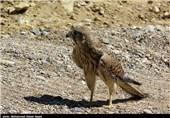 عقاب طلایی/شاهین