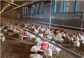 حمایت قاطع تولیدکنندگان زنجیرهای گوشت مرغ از سویۀ ایرانی