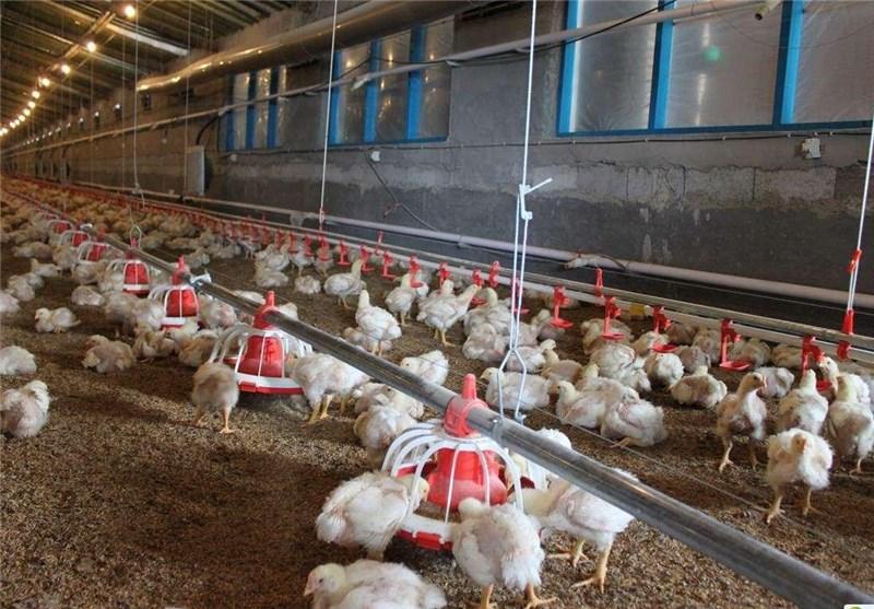محدودیت اعطای مجوز تولید زنجیرهای صنعت مرغ در خراسان شمالی وجود ندارد
