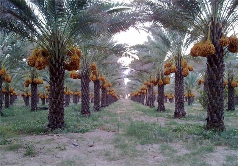محصولات نخلستانهای استان بوشهر تا پایان خرداد بیمه میشود