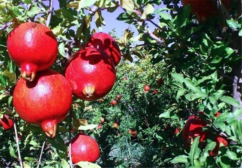 ثمار الرمان فعّالة فی مقاومة آثار الشیخوخة
