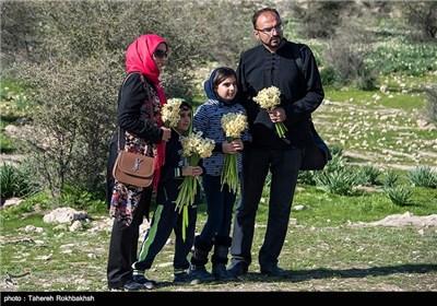 Daffodil Festival in Iran's Fars Province