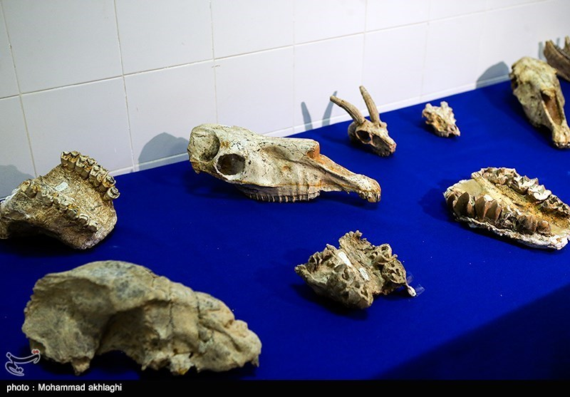 Iran's Eight-Million-Year-Old Fossils Unveiled after Returning Home from US