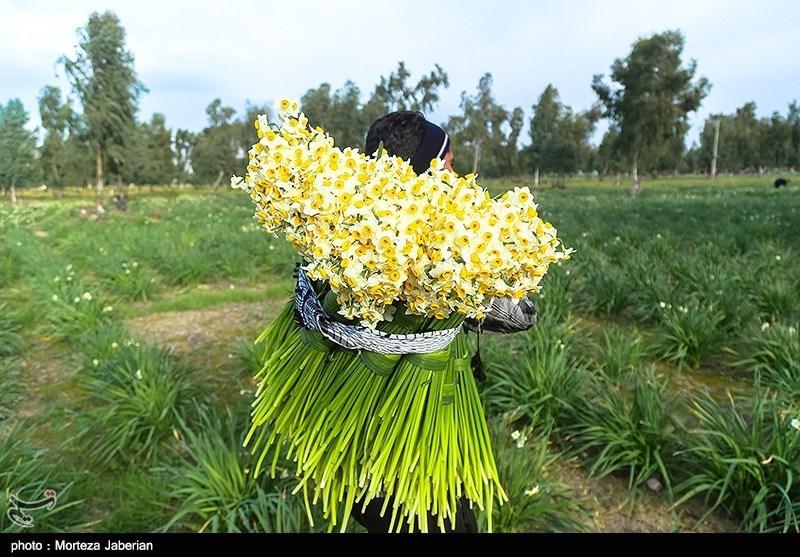 برداشت گل نرگس در بهبهان خوزستان