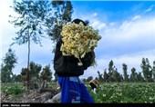 برداشت گل نرگس در شهرستان خوسف آغاز شد