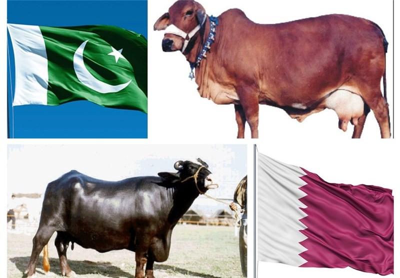هدیه گاو و بوفالو پاکستان به امیر قطر