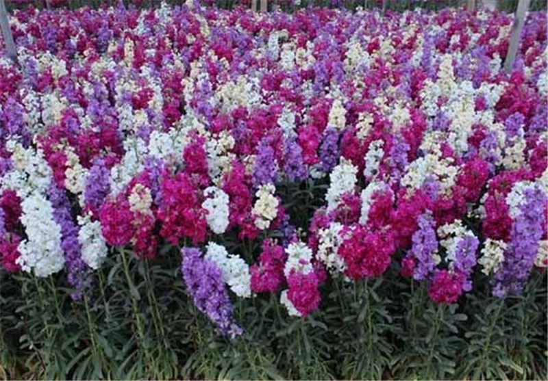 ۵۰۰هزار گلبهاری در شهر بجنورد کشت میشود