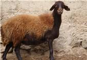 گوسفند افشار در زنجان
