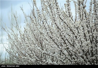 Iran's Beauties in Photos: Blooms in Iran's Northern City of Zanjan