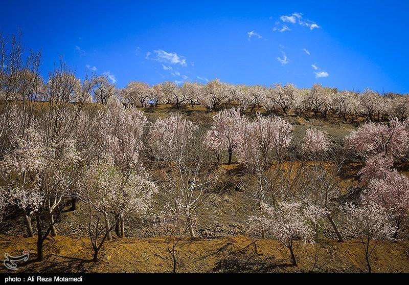 شکوفه های بهاری شهرکرد