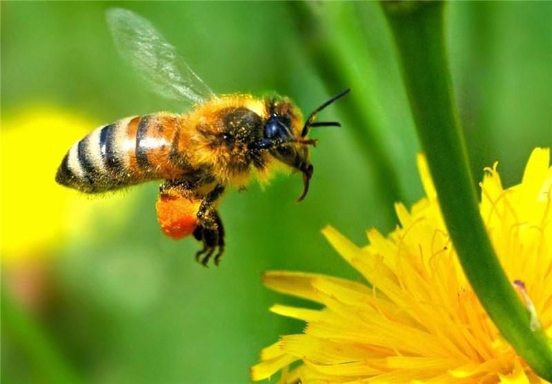 """مرگ """"زنبورهای عسل"""" در اراضی زیر کشت محصولات تراریخته"""